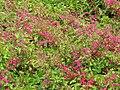 Starr-090707-2327-Antigonon leptopus-flowers-Waikapu Golf Course-Maui (24601280869).jpg