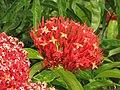 Starr-090806-3843-Ixora sp-flowers-Wailuku-Maui (24945087426).jpg