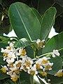 Starr-090806-3891-Calophyllum inophyllum-flowers and leaves-Maui Arts and Cultural Center Kahului-Maui (24853548982).jpg