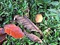 Starr-091104-9037-Sandoricum koetjape-fruit and leaves on ground-Kahanu Gardens NTBG Kaeleku Hana-Maui (24961078416).jpg