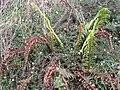 Starr-100401-4264-Erigeron karvinskianus-smothering Dryopteris wallichiana-Polipoli-Maui (24659719729).jpg