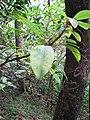 Starr-100430-5487-Charpentiera obovata-leaves-Iao-Maui (24737070420).jpg