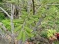 Starr-110307-2547-Cupaniopsis anacardioides-leaves-Kula Botanical Garden-Maui (24782678580).jpg