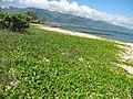 Starr-110312-6385-Heliotropium anomalum var argenteum-after tsunami with Forest and Mike-Kanaha Beach-Maui (24961464322).jpg