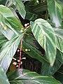 Starr-110330-3650-Alpinia zerumbet-variegated leaves-Garden of Eden Keanae-Maui (24453711643).jpg