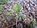 Starr-110524-5648-Vicia sativa subsp nigra-flowers and leaves-Science City-Maui (24464889584).jpg