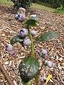 Starr-110621-6265-Vaccinium hybrid-Southern highbush cv Emerald habit-Hawea Pl Olinda-Maui (25097278095).jpg