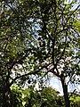 Starr-120522-6055-Bauhinia x blakeana-habit-Iao Tropical Gardens of Maui-Maui (24512399374).jpg