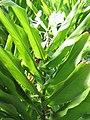 Starr-121031-0479-Hedychium coronarium-flowers and leaves-Waikamoi Flume Rd-Maui (25194990075).jpg