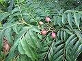 Starr-121108-0707-Murraya koenigii-fruit and leaves-Pali o Waipio-Maui (25102701521).jpg