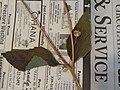 Starr-140621-0699-Unknown asteraceae-dichasial cyme flower leaves-Kohala-Hawaii (24947635950).jpg