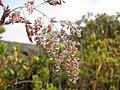Starr-140915-4915-Holcus lanatus-seedheads with raindrops-Halemauu Trail HNP-Maui (24950555730).jpg