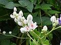 Starr-150811-0544-Antigonon leptopus-flowers white form-Enchanting Floral Gardens of Kula-Maui (24928022709).jpg