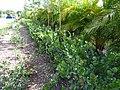 Starr-160718-0258-Chrysobalanus icaco-hedges-Vitas Healthcare Delray Beach-Florida (29586920431).jpg