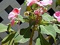 Starr 030418-0106 Impatiens walleriana.jpg