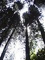 Starr 040812-0071 Araucaria columnaris.jpg