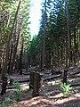 Starr 041113-0632 Araucaria columnaris.jpg
