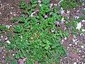 Starr 051202-5621 Erodium cicutarium.jpg