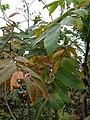 Starr 060221-6050 Rhus sandwicensis.jpg