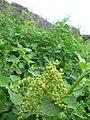 Starr 060228-8810 Chenopodium oahuense.jpg