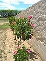 Starr 060703-8336 Hibiscus rosa-sinensis.jpg