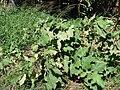 Starr 070207-4279 Solanum melongena.jpg