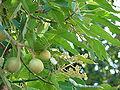 Starr 070215-4556 Aleurites moluccana.jpg