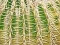 Starr 070320-5803 Echinocactus grusonii.jpg