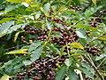 Starr 070617-7325 Coffea arabica.jpg