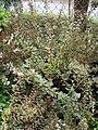 Starr 070906-8958 Abelia x grandiflora.jpg