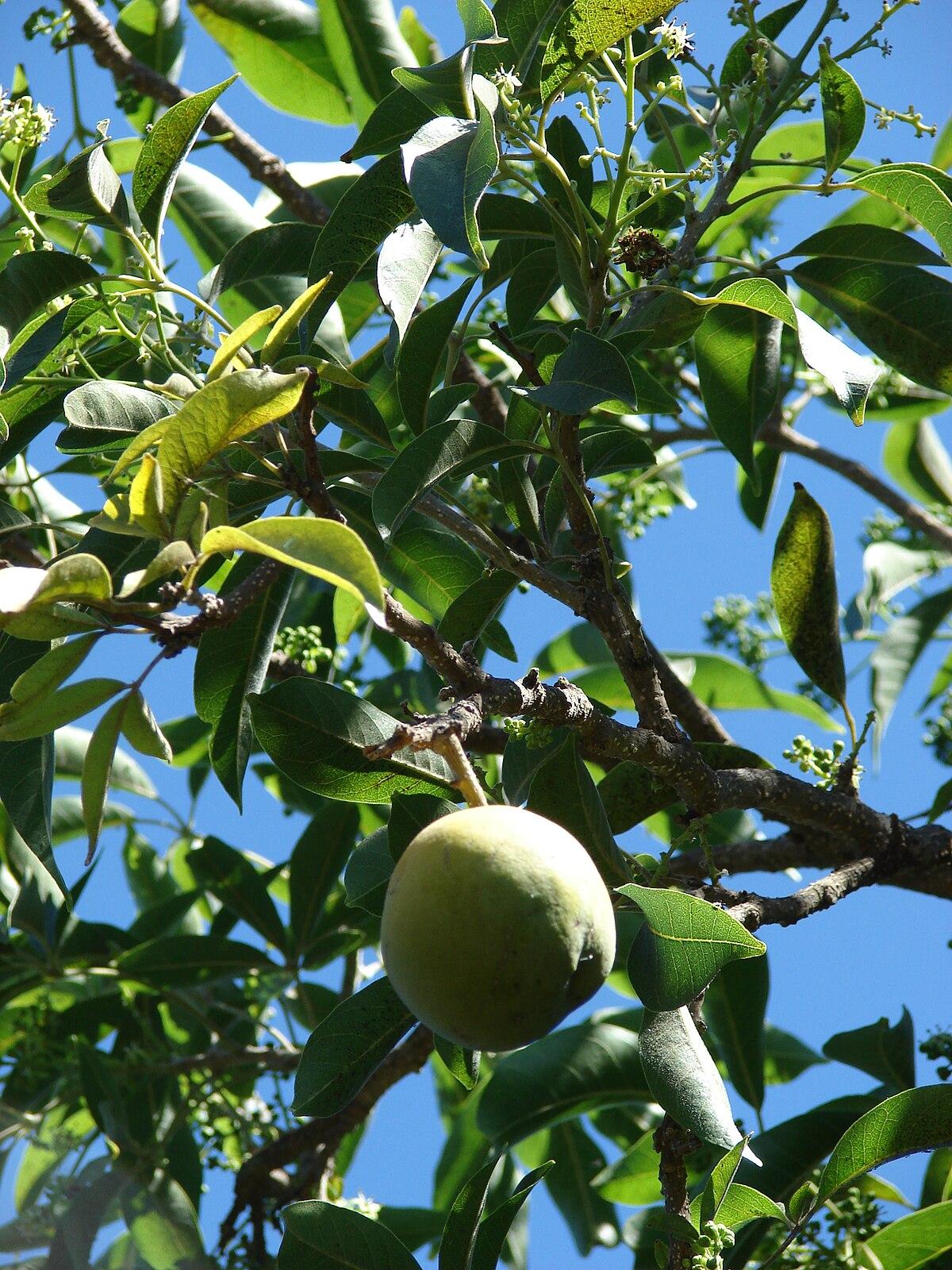 Casimiroa edulis wikipedia la enciclopedia libre for Arbol con raices y frutos