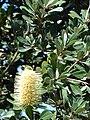 Starr 071024-0271 Banksia integrifolia.jpg