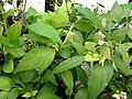 Starr 080117-1673 Scutellaria javanica.jpg