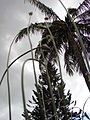 Starr 080327-3883 Plantago lanceolata.jpg
