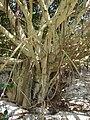 Starr 080601-5177 Ficus microcarpa.jpg