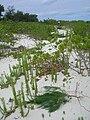 Starr 080610-9515 Casuarina equisetifolia.jpg