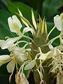 Starr 080716-9461 Hedychium flavescens.jpg
