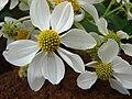 Starr 081230-0660 Montanoa hibiscifolia.jpg