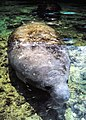 State marine mammal of Florida (3398326531).jpg