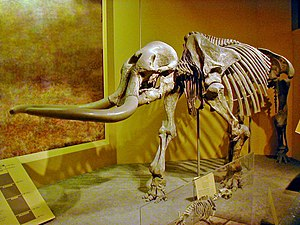 Stegomastodon mirificus im Smithsonian National Museum of Natural History