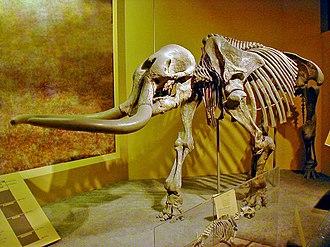 Stegomastodon - S. mirificus fossil at the Smithsonian Natural History Museum