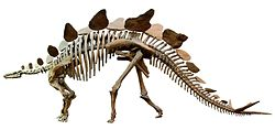 Stegosaurus Senckenberg white background.jpg