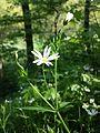 Stellaria holostea sl12.jpg