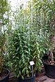 Stevia rebaudiana - Botanischer Garten, Dresden, Germany - DSC08455.JPG