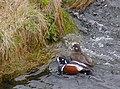 Strömand Harlequin duck (14528488675).jpg