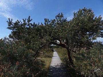 Strandkiefer-Kuss am Naturpfad Darßer Ort Nationalpark (NP) Mecklenburgische Boddenlandschaft.jpg