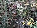 Stream and Berries - geograph.org.uk - 285978.jpg