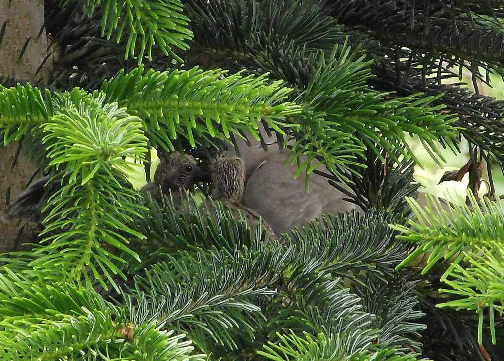 Husté koruny stromov slúžia ako úkryt pre vtáky a ich mláďatá