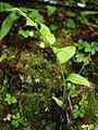 Streptopus lanceolatus curvipes 1.jpg