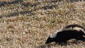 Striped Skunk (17035272948).jpg